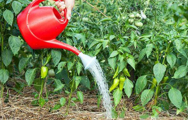 При поливе перцев воду наливают только под корень