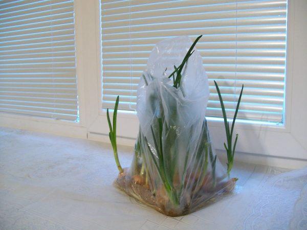 При помощи пакета и туалетной бумаги можно вырастить зеленый лук без лишних хлопот