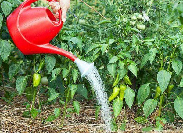 При появлении плодов перцы поливают обильнее