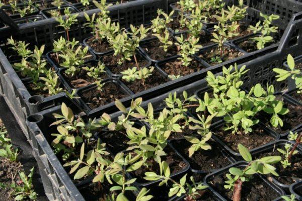 При семенном размножении кусты жимолости полноценно зацветут на 4-5 год жизни