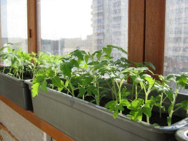 Рассаду томатов лучше всего закалять на балконе