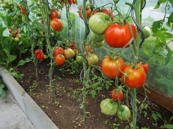 Режим полива зависит ещё и от высоты томатного куста