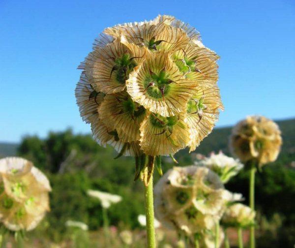 Scabiosa stellata после цветения