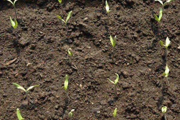 Семена дают первые всходы в среднем через 7-10 дней
