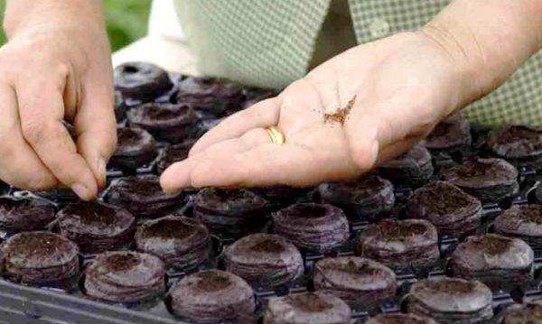Семена допускается сразу высеивать в индивидуальные горшочки
