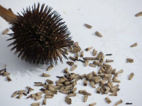 Семена культуры можно сеять сразу на участке или вырастить из них рассаду