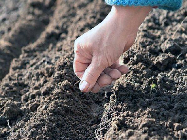 Семена лука можно сажать как в открытый грунт, так и в теплицу