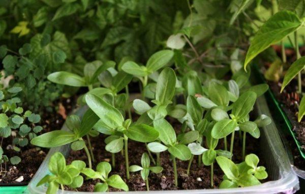 Сеянцы цинии высокие и крупные, поэтому требуют больших емкостей и много места