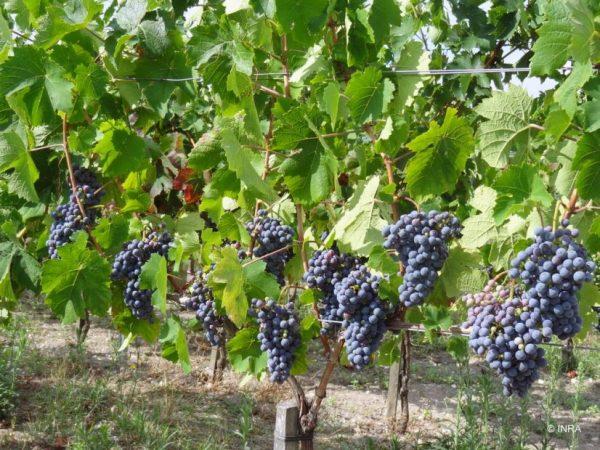 Сорта виноградов для вин