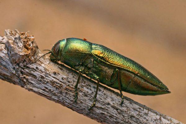 Средняя длина жука Златка около 3 см