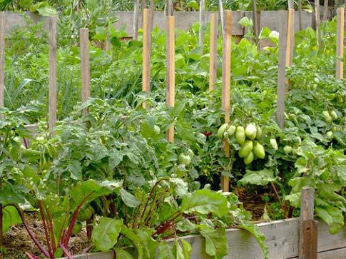 Свекла - полезный сосед помидоров