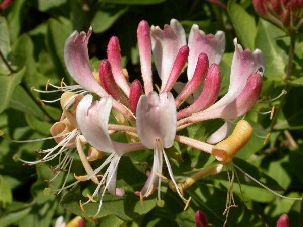 Своей красотой жимолость маскирует самые неприглядные уголки сада