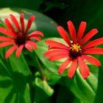 Тонкоцветковая