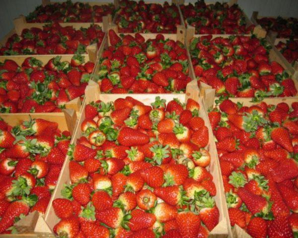 Транспортировать нежные ягоды нужно с большой аккуратностью