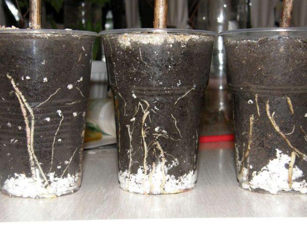 Укорененные черенки лучше растут и развиваются