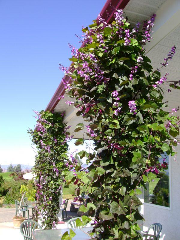 Украшение входа в садовый дом лианами долихоса