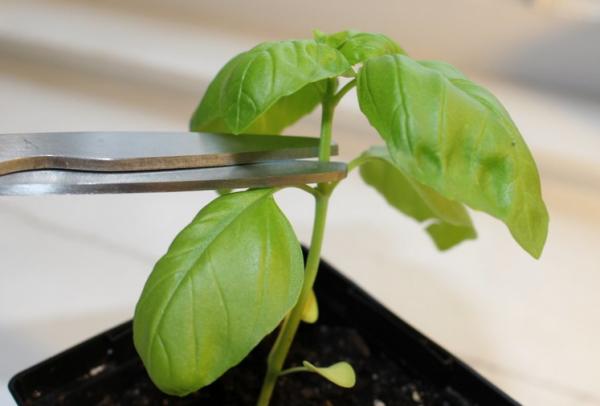 Урожайность базилика зависит от обрезки
