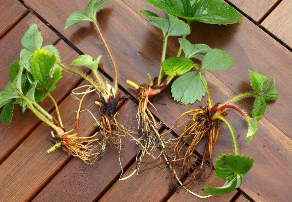 Усы клубники вместе с корнями