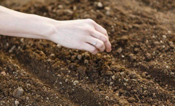 В открытый грунт растение высевают весной