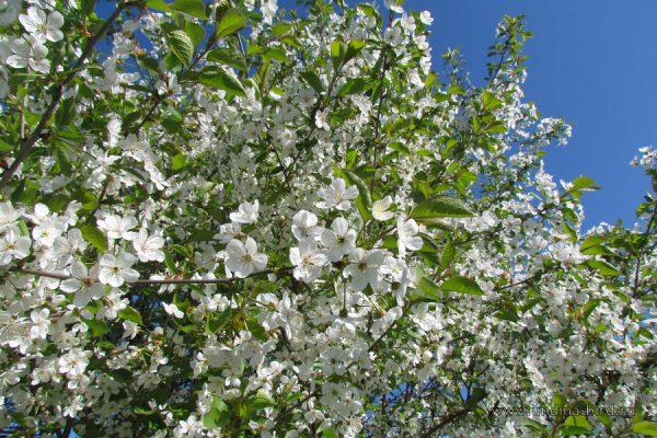 В середине мая сад украсится нежными цветущими деревцами.