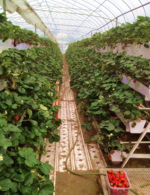 В тепличных условиях клубнику удобно выращивать в трапециевидных контейнерах