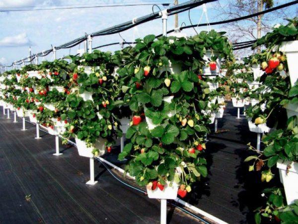 Вертикальное выращивание клубники в горшках