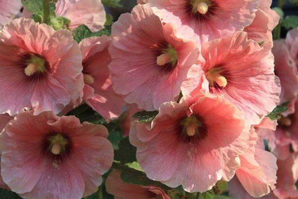 Во время цветения полив усиливается