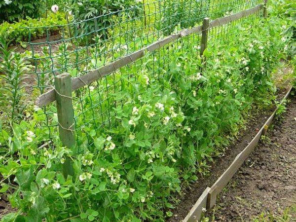 Выращивание гороха в ярко освещенном месте на сетке