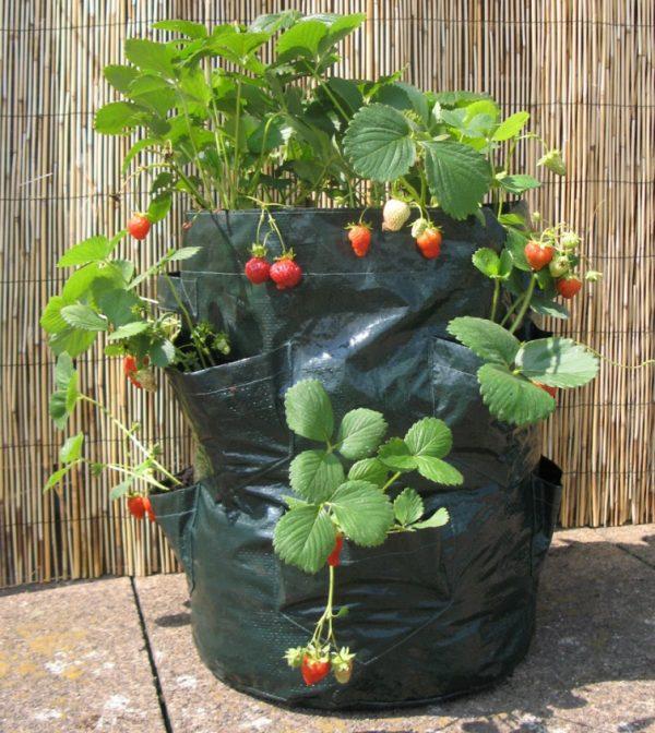 Выращивание клубники в пакете