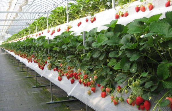 Выращивание ягод в промышленных масштабах