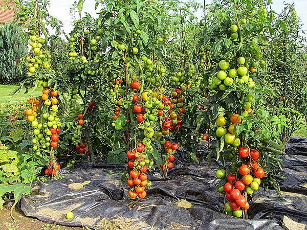 Высокорослые сорта помидоров более рентабельны