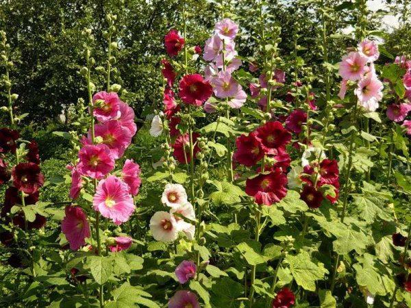Засохшие цветки нужно снимать