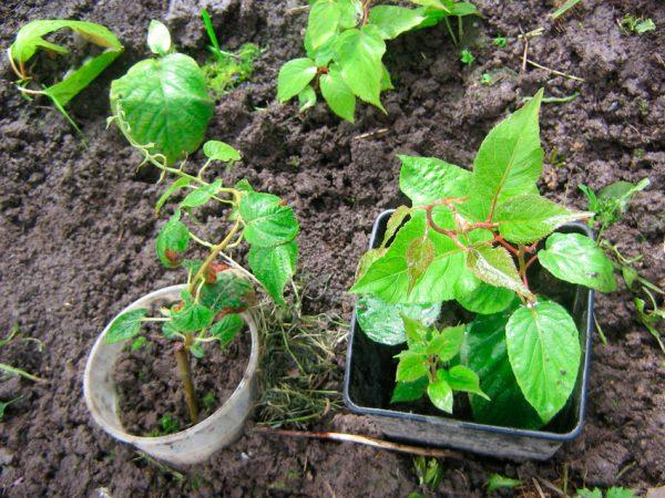 Сажать молодые растения можно весной или осенью