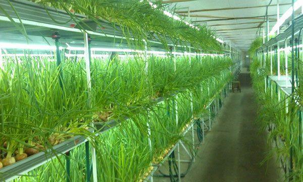 Выращивание лука в опилках на продажу