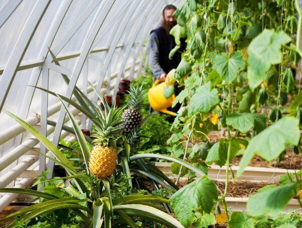 Чтобы получить богатый урожай тропических фруктов, необходимо в парнике создать микроклимат, приближенный к условиям тропиков