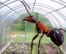 Как предотвратить появление муравьев в теплице