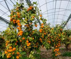 Как вырастить экзотические фрукты в теплице