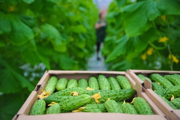 Овощи характеризуются продолжительным периодом хранения