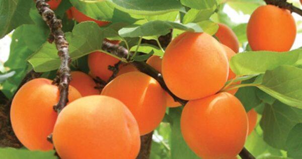 Выращивание абрикос в теплице