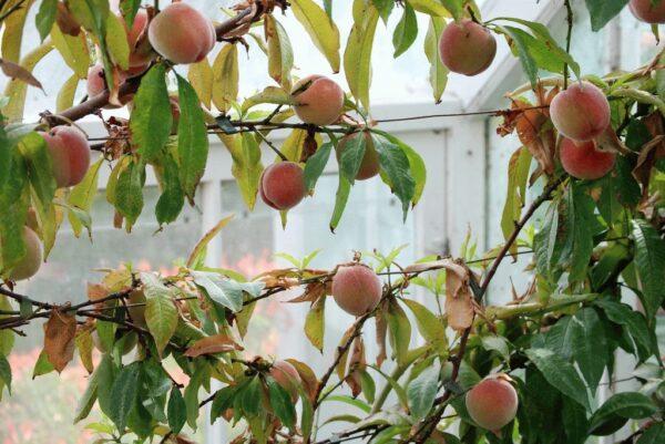 Выращивание персиков и нектаринов в теплице