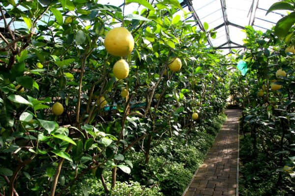 Выращивание в теплице цитруса Мейерс Лимон