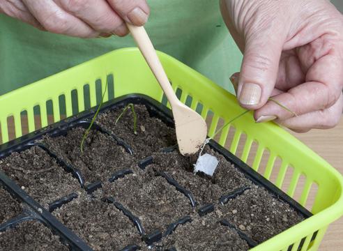 Распикируйте сеянцы прямо с бумагой в заранее приготовленные кассеты или горшочки