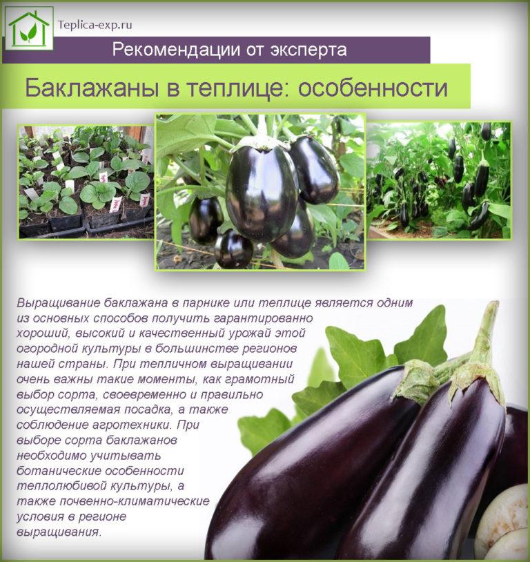 Посадка и выращивание баклажанов в теплице