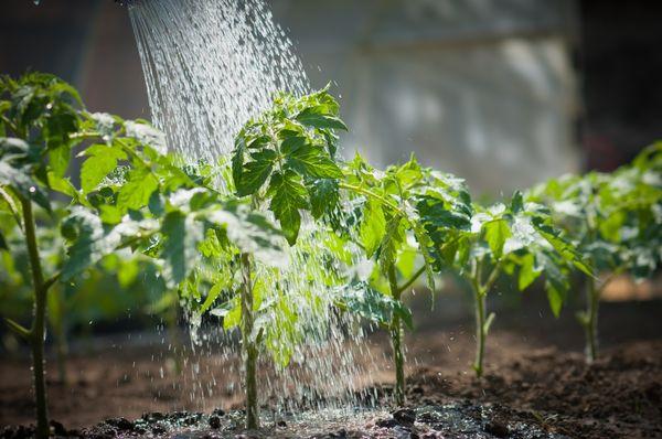Чтобы задержать рост рассады, нужно сократить частоту и интенсивность полива