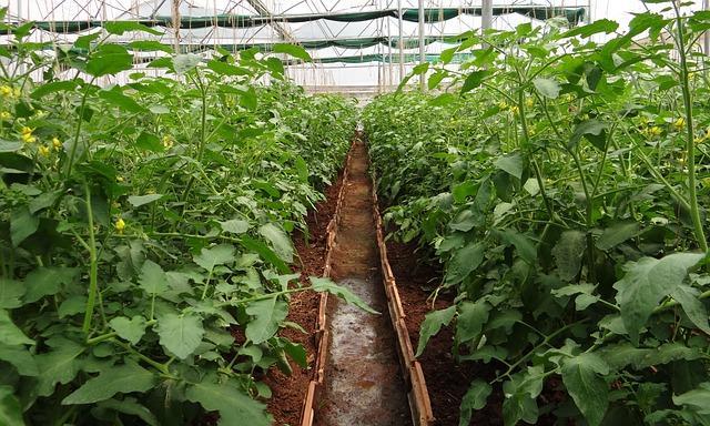Осматривайте растения в теплице каждые 3-4 дня