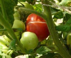 Почему трескаются помидоры при созревании