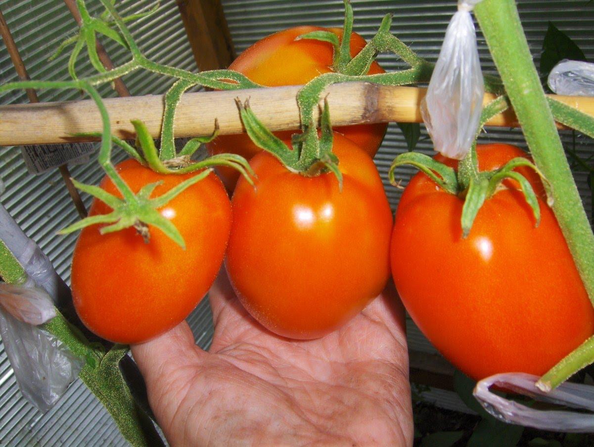 Подходящие помидоры снимаются с куста