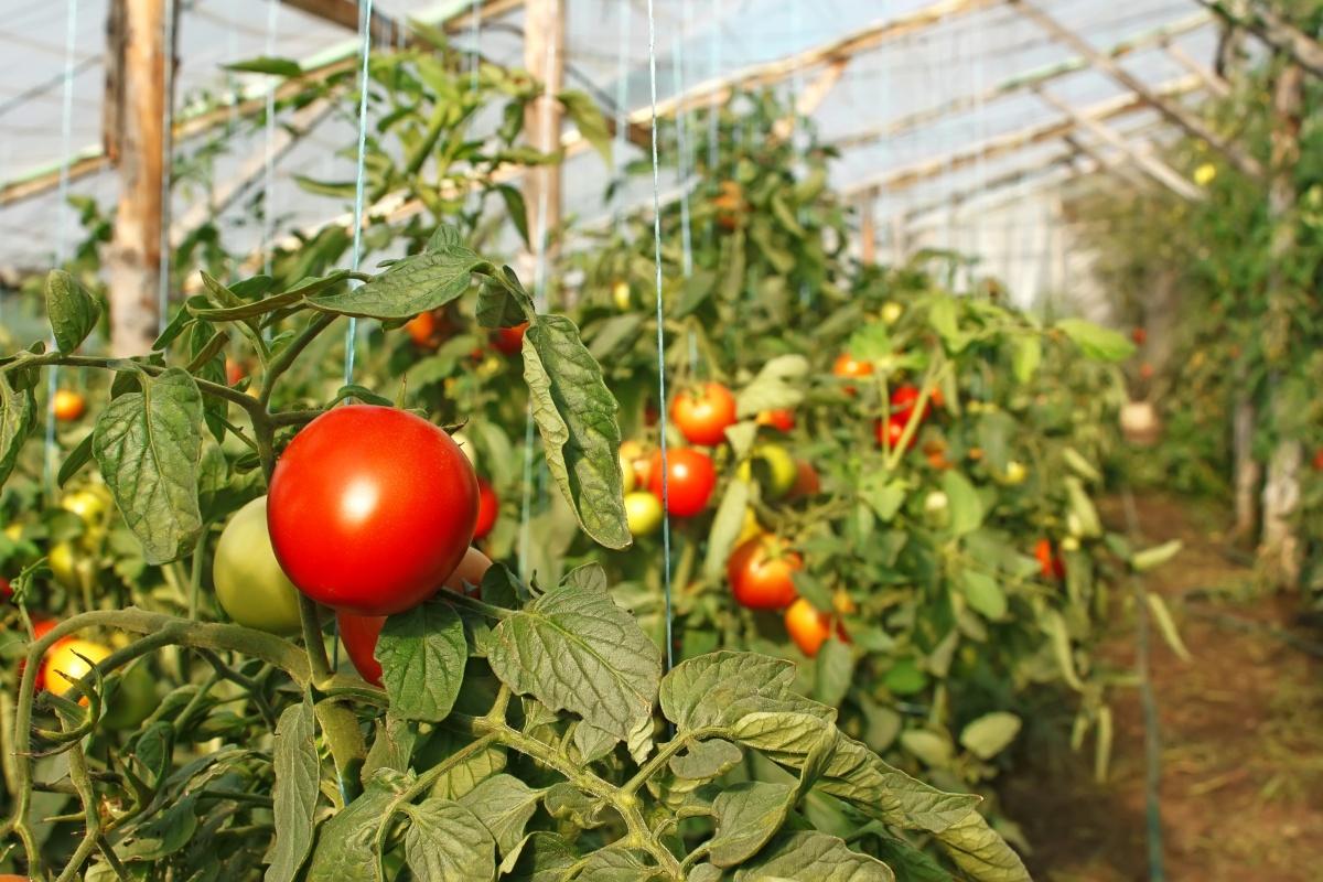 Томаты достаточно капризны, поэтому почва в теплице должна соответствовать ряду требований
