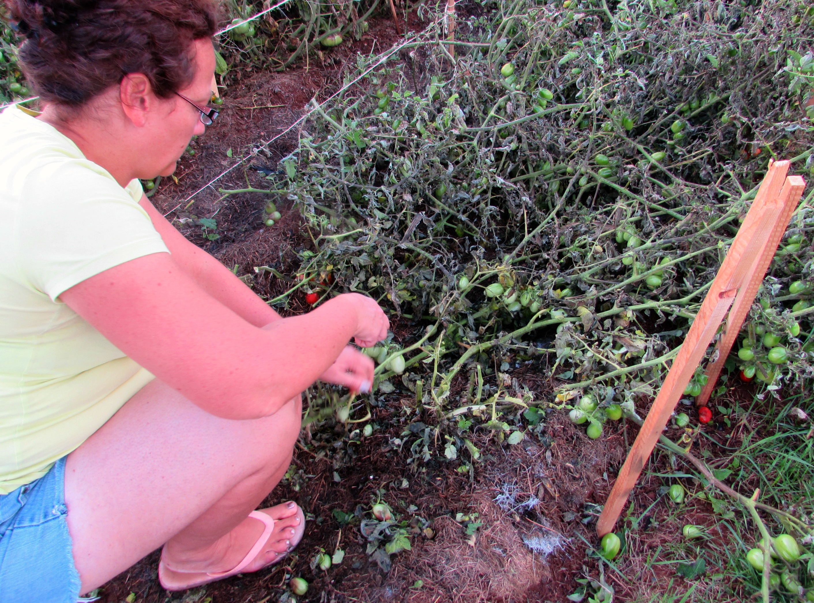 Удаление поврежденных листьев томатов