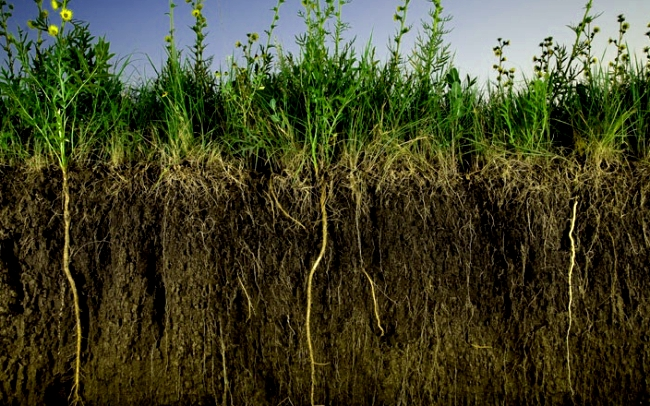 Во время роста корни сидератов разрыхляют грунт, а после отмирания и разложения оставляют послефункции сидератов себя многочисленные поры и капилляры